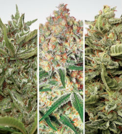 Paradise Seeds Autoflower Collection Pack #1