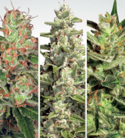 Paradise Seeds Autoflower Collection Pack #2