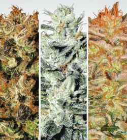 Paradise Seeds Indica Champions Pack