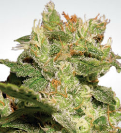 Paradise Seeds Jack Autoflower Feminized
