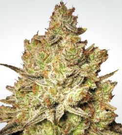 Paradise Seeds Jacky White Feminized