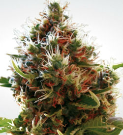 Paradise Seeds Lucid Bolt Feminized