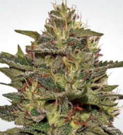 Paradise Seeds Original Cheese Feminized