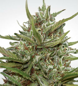Paradise Seeds White Berry Autoflower Feminized