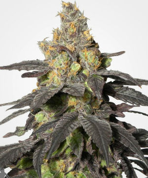 Purple Urkle Feminized Marijuana Seeds