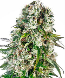 Sensi Seeds Big Bud Autoflower Feminized