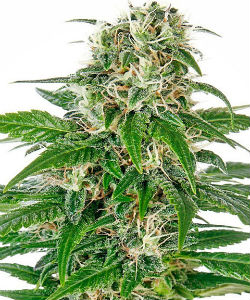 Sensi Seeds Early Skunk Autoflower Feminized