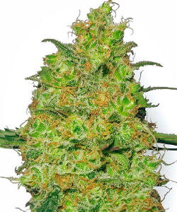 Sensi Seeds White Label Master Kush Feminized