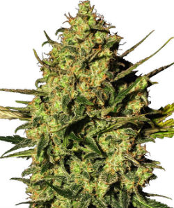 Sensi Seeds White Label Master Kush Haze Autoflower Feminized