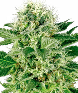 Sensi Seeds White Label Northern Lights Feminized