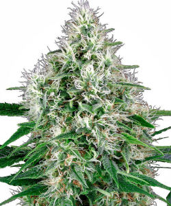 Sensi Seeds White Label Pure Power Plant Autoflower Feminized