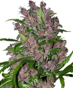 Sensi Seeds White Label Purple Bud Autoflower Feminized