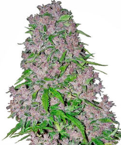Sensi Seeds White Label Purple Bud Feminized