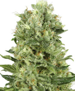 Sensi Seeds White Label Skunk #1 Autoflower Feminized