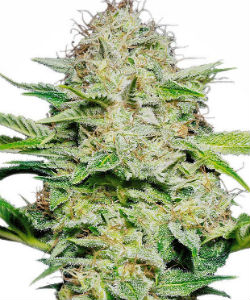 Sensi Skunk Autoflower Feminized Seeds