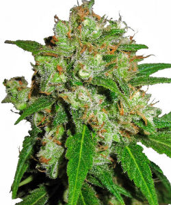 Sensi Skunk Feminized Seeds