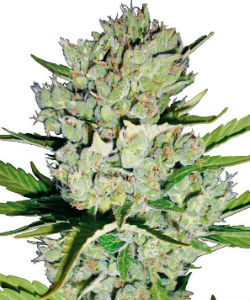 Sensi Seeds White Label Super Skunk Autoflower Feminized