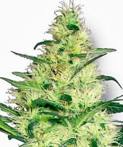 Sensi Seeds White Label White Diesel Feminized