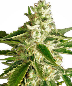 Sensi Seeds White Label White Diesel Haze Autoflower Feminized