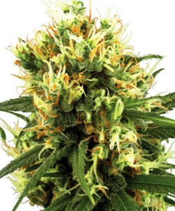 Sensi Seeds White Label White Haze Autoflower Feminized