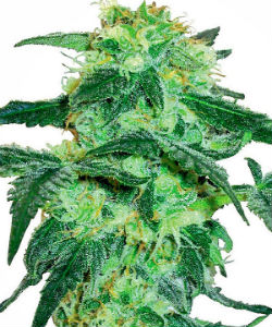 Sensi Seeds White Label White Ice Feminized