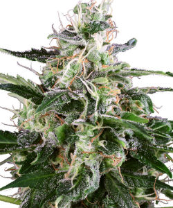 Sensi Seeds White Label White Skunk Autoflower Feminized