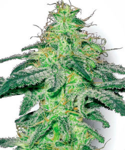 Sensi Seeds White Label White Skunk Feminized