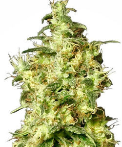 Sensi Seeds White Label White Widow Autoflower Feminized