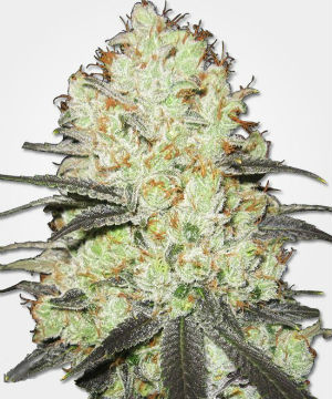 Strawberry Cough Feminized Cannabis Seeds