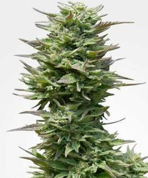 Sunset Sherbet Feminized Cannabis Seeds