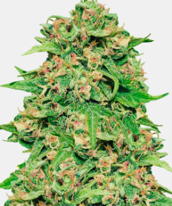 WeedSeedsExpress ACDC