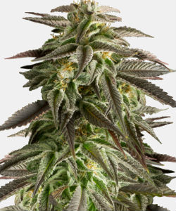 WeedSeedsExpress Blue Cheese