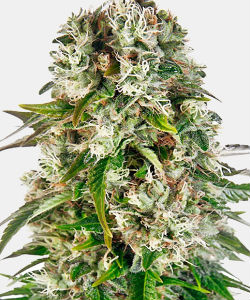 WeedSeedsExpress Big Bud