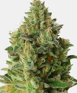 WeedSeedsExpress Big White Widow