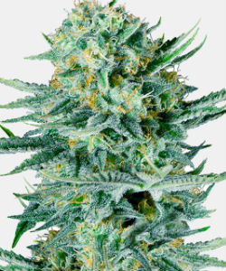 WeedSeedsExpress Blue Dream