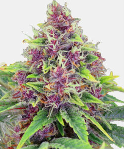 WeedSeedsExpress Blueberry