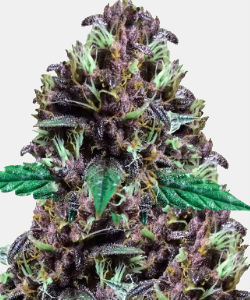 WeedSeedsExpress CBD Purple Kush
