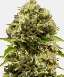 WeedSeedsExpress Cheese