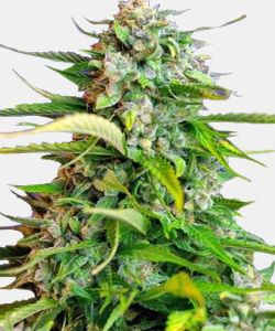 WeedSeedsExpress Critical