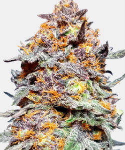 WeedSeedsExpress Granddaddy Purple