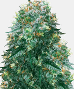 WeedSeedsExpress Harlequin