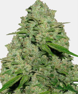 WeedSeedsExpress Haze 1
