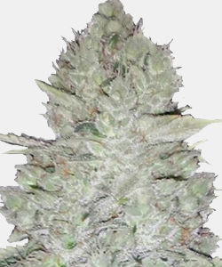 WeedSeedsExpress Original Glue