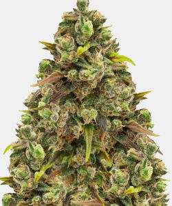 WeedSeedsExpress Sexxpot