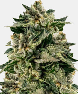 WeedSeedsExpress Skywalker OG