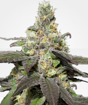 Wedding Cake Feminized Weed Seeds