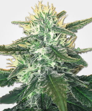 White Widow Max Feminized Marijuana Seeds