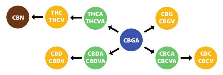 CBC And Cannabinoids