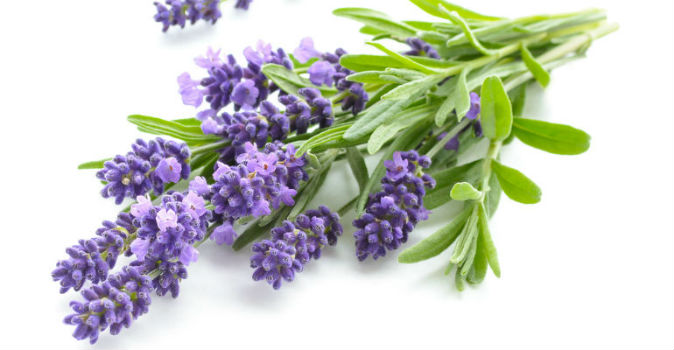 Terpene Uses Lavender