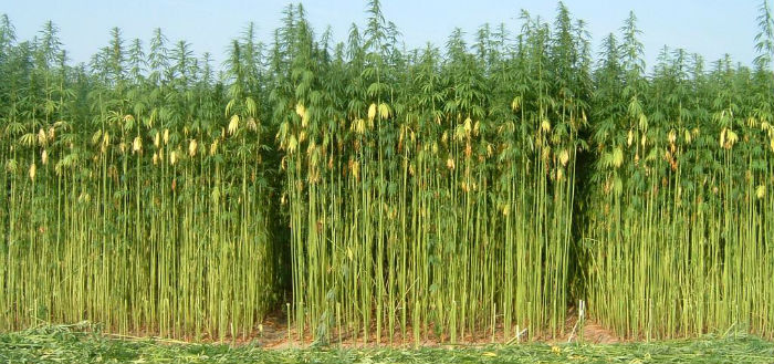Cannabis Industry Hemp